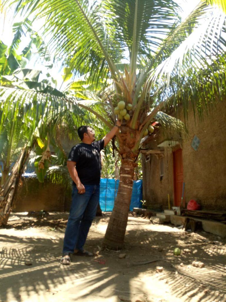 Pohon kelapa kopyor